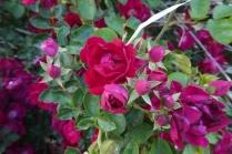 RosesOfAllStages